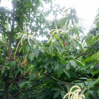 Hybrid Chestnut